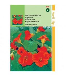 capuchina scarlet gleam (Tropaeolum majus nanum)
