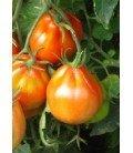 planta de tomate canestrino di Lucca