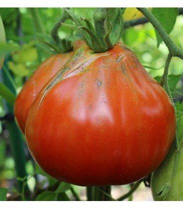 tomate corazón de buey ascolano (semillas ecológicas)