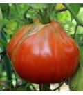 tomate corazón de buey ascolano (plantel ecológicos)