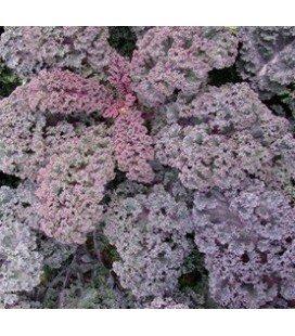 plantel de kale scarlet