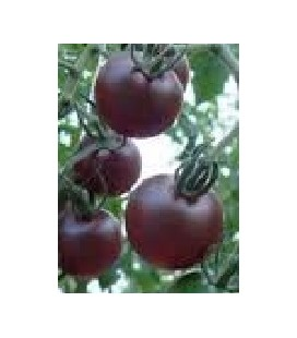 tomate cherry negro - plantel