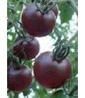 tomate cherry negro - plantel ecológico