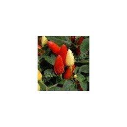 Plantel de guindilla hot prairie pepper