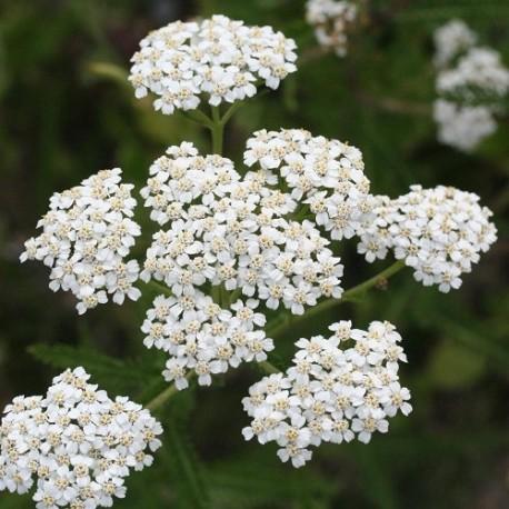 milenrama (Achillea millefolium) semillas ecologicas
