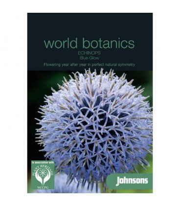 Echinops bannaticus blue glow