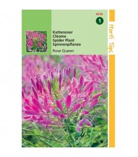 Cleome - flor araña (Cleome spinosa)