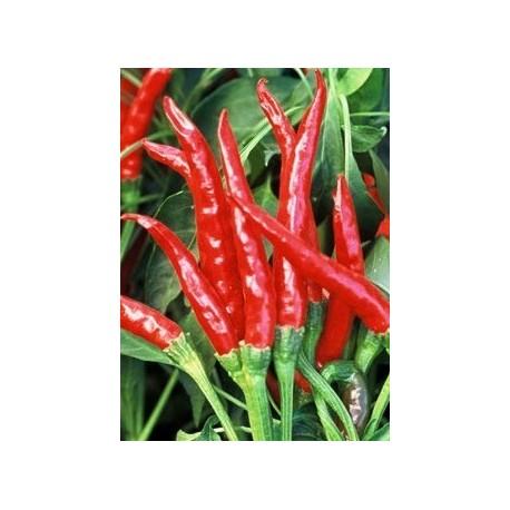 Plantel de guindilla tailandesa Tai hot