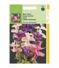 Salvia horminum Tricolor