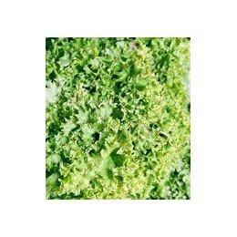 lechuga lollo bionda (semillas ecológicas)