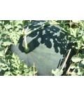 sandia de Faenza (semillas ecológicas)