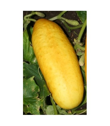 pepino amarillo gele tros