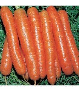 zanahoria Amsterdam (semillas ecológicas)