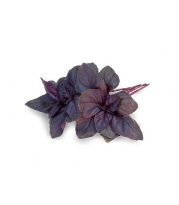 albahaca purpura crimson king