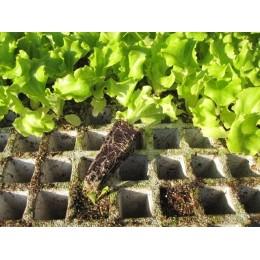 plantel de lechuga batavia