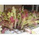 plantel de lechuga hoja de roble