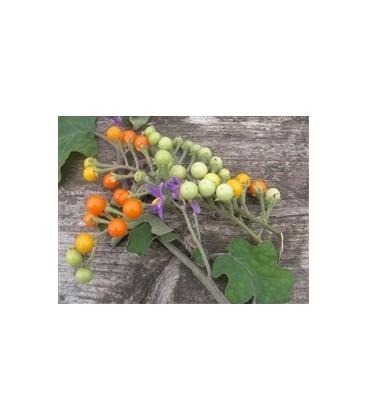 berenjena guisante de Nong Ta Klong (semillas ecológicas)
