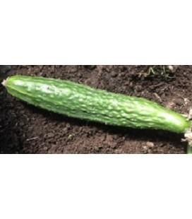 pepino suyo long (semillas ecológicas)