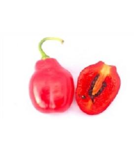 pimiento rocoto boliviano (Capiscum Pubescens) - semillas ecológicas
