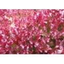 plantel de lechuga lollo rosso