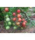 tomate sprite (semillas ecológicas)