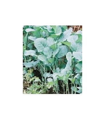 habesha gomen - kale etiope (Brassica carinata¿ semillas ecológicas