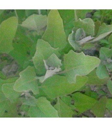 huauzontle (Chenopodium berlandieri) semillas ecológicas