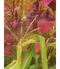 semillas amaranto elefante