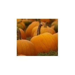 plantel de calabaza para halloween