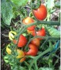 tomate auld sod (semillas ecológicas)