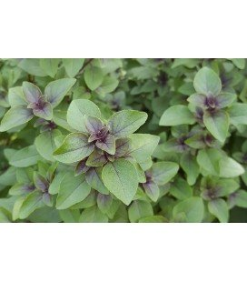 tulsi - albahaca sagrada (Ocimum sanctum) semillas ecologicas