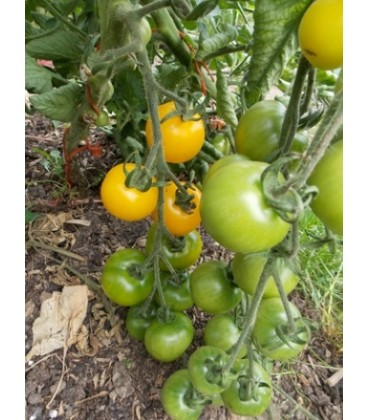tomate yellow perfection (semillas ecológicas)