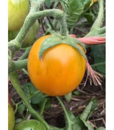 tomate ida gold (semillas ecológicas)