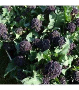 brocoli de floretes morados summer purple (semillas sin tratamiento)