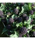 brocoli morado summer purple (semillas sin tratamiento)