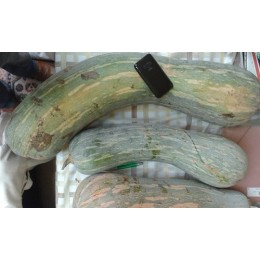 plantel de calabaza Gernika