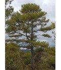 pino negral (pinus nigra)