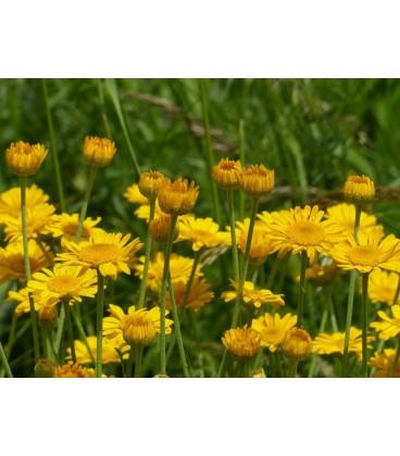 margarita amarilla (anthemis tinctoria)