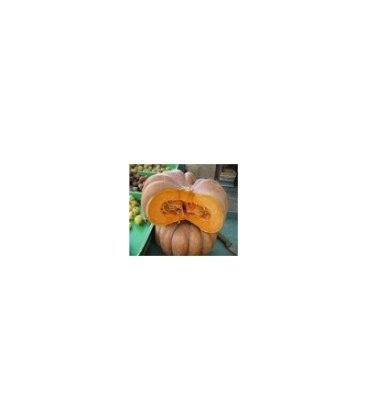 plantel de calabaza musquee de provence