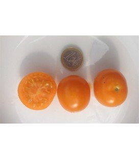 tomate sungold select (semillas ecológicas)