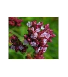 oregano rojo - semillas ecológicas biodinamicas