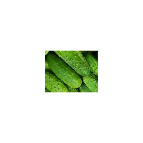 plantel de pepino