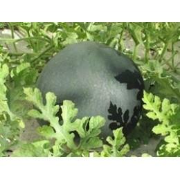 plantel de sandia sugar baby