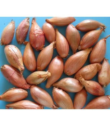 bulbos de cebolla blanca - ecológico