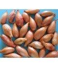 bulbos de cebolla dorada de Parma - ecológico