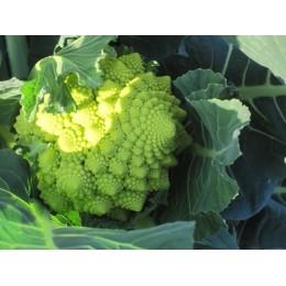 plantel de brocoli romanesco