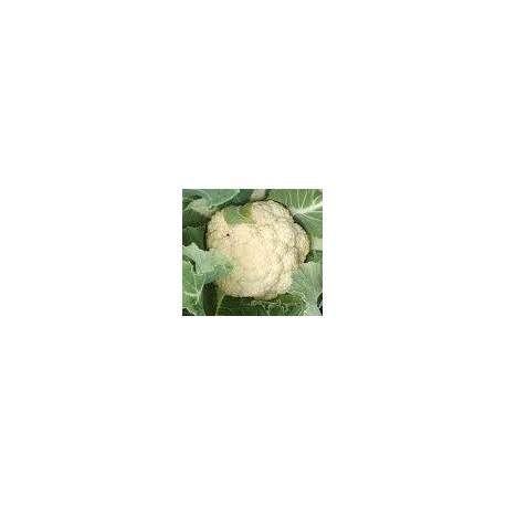 plantel de coliflor primavera