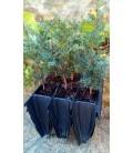 tejo (Taxus baccata) en formato forestal