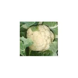 plantel de coliflor tardia (120 días)