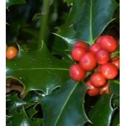 acebo (Ilex aquifolium) en contenedor de 5 litros